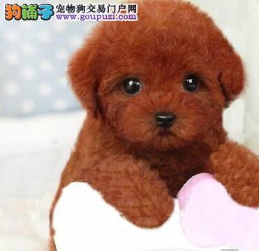 乖巧贵宾宝宝出售 包纯种健康签协议 犬舍直销品质保障2