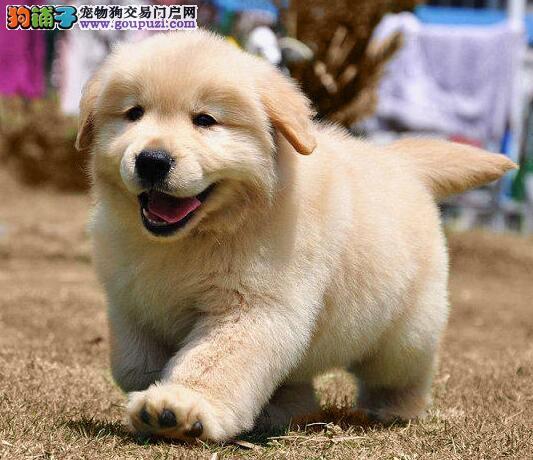 家养顶级品质金毛犬促销中可签订购买协议1