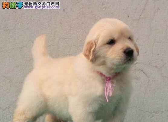 家养顶级品质金毛犬促销中可签订购买协议2
