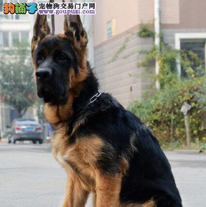 黑背弓腰骨骼健硕的德国牧羊犬出售中 珠海市内可送货