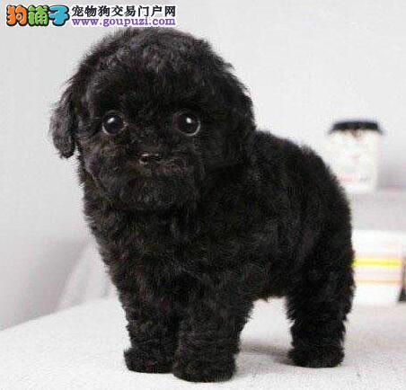 茶杯玩具血系的珠海贵宾犬找新家 爱狗人士优先选购