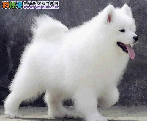 精品赛级萨摩耶、可看狗狗父母照片、微信咨询看狗