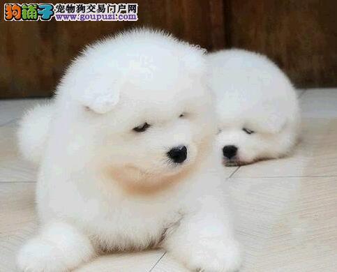 延安迷人眼球微笑萨摩耶犬 无异味亮丽雪白聪明听话