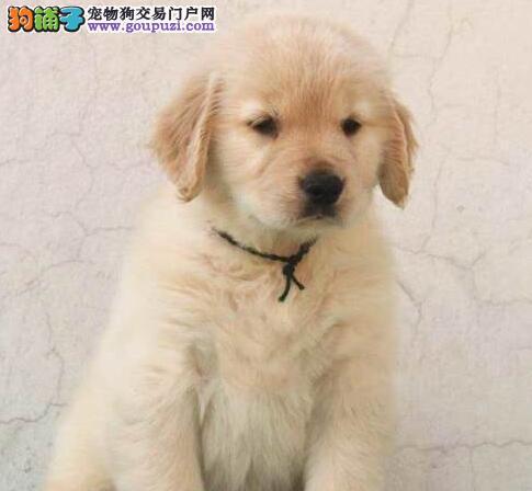 家养顶级品质金毛犬促销中可签订购买协议3