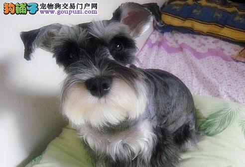 认证犬舍雪纳瑞 包养活 签协议 包售后3