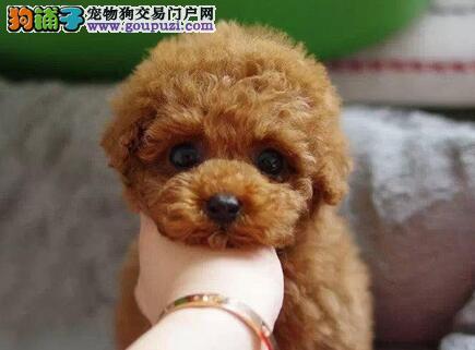 犬舍低价直销出售汕头贵宾犬 纯正血统均有证书3