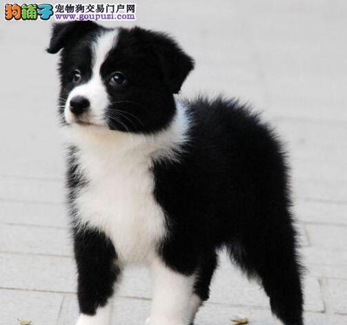 柳州实体狗场直销出售边境牧羊犬 极高品质绝对信誉