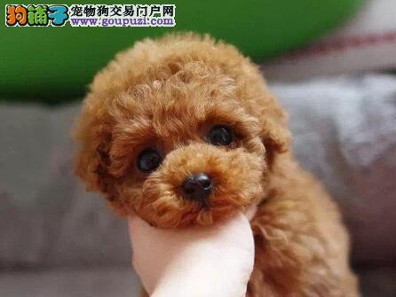 犬舍低价直销出售汕头贵宾犬 纯正血统均有证书2