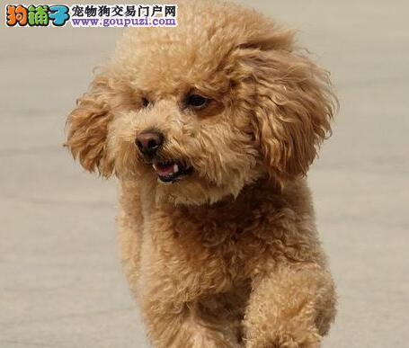 犬舍低价直销出售汕头贵宾犬 纯正血统均有证书1