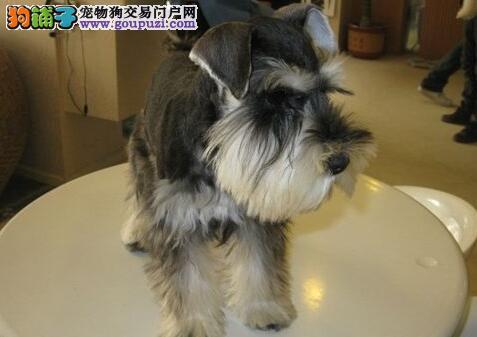 认证犬舍雪纳瑞 包养活 签协议 包售后2