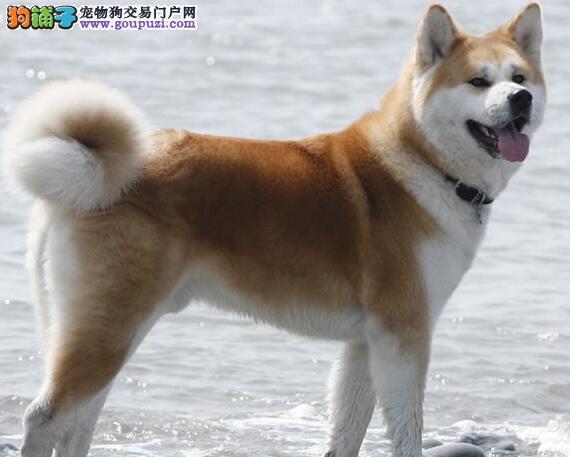 直销价转让优秀日系秋田犬 北京附近城市可上门购买