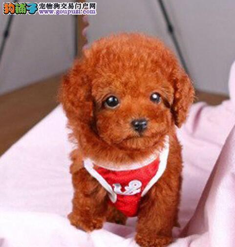 犬舍低价直销出售汕头贵宾犬 纯正血统均有证书4
