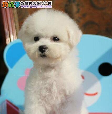 实体店转让好品相的长沙比熊犬质量保证签合同