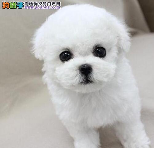 广州专业繁殖小体卷毛比熊犬 购买有保障 宝宝聪明可爱