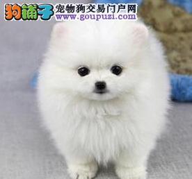 正规狗场犬舍直销博美犬幼犬签订合法售后协议