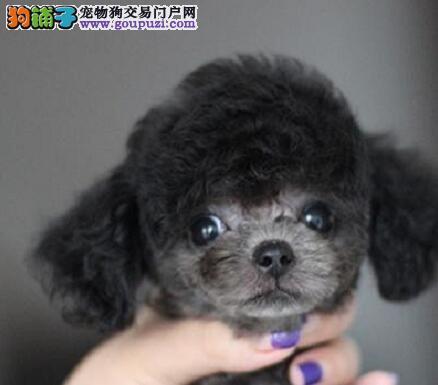 顶级优秀的纯种泰迪犬热卖中真实照片视频挑选1