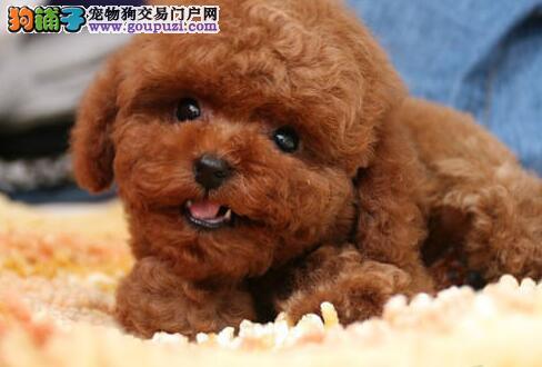 顶级优秀的纯种泰迪犬热卖中真实照片视频挑选2