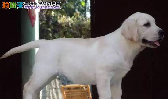 成都神犬小七拉布拉多全出售奶白色咖啡色黑色拉拉