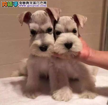 犬舍繁育多只哈尔滨雪纳瑞热销中完美品相可预订