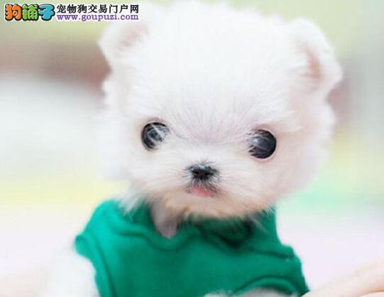 自家繁殖多只博美犬热销广州地区购犬送用品