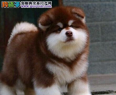 巨型熊版阿拉斯加犬高品质赛级血统 武汉狗场欢迎选购1
