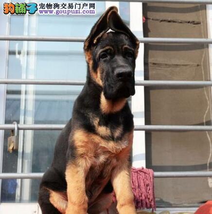 北京售德国牧羊犬纯种幼犬德牧幼犬黑背公母全有