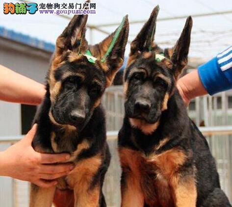 德国牧羊犬幼犬 纯种德牧犬