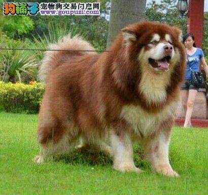 佳木斯健康阿拉斯加犬巨型熊版阿拉斯加品相好疫苗齐全