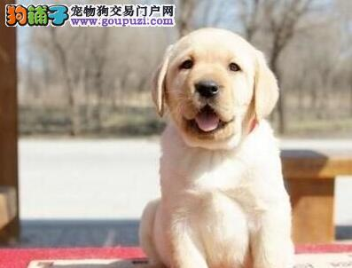 出售自家繁殖的青岛拉布拉多犬 喜欢可随时与我联系