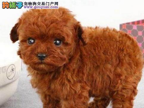 资阳市售玩具体泰迪犬迷你体型适合城市公寓饲养宠物狗2