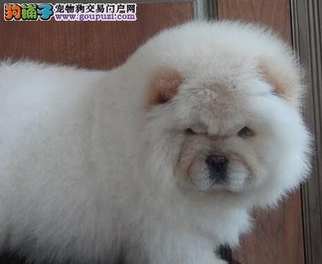 石家庄狗场出售大毛量大头版的松狮犬 请您放心选购