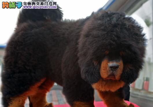 转让大狮子头的南宁藏獒幼崽 铁头包金凶猛异常血系