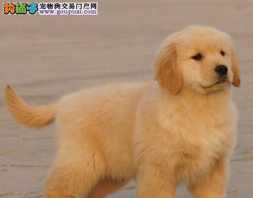 青岛大型狗场直销顶级优秀金毛犬 公母都有已做疫苗