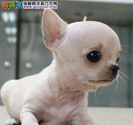 广州哪里有卖吉娃娃 广州吉娃娃一只多少钱
