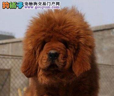 出售多种颜色广东纯种藏獒幼犬终身售后送货