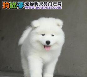 杭州本地犬舍直销微笑天使萨摩耶防疫完毕三证齐