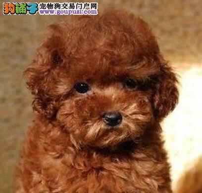 专业犬舍热卖健康贵宾犬合肥市区购犬可送狗粮