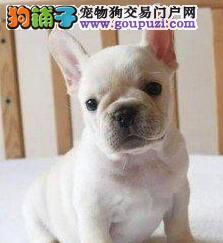 天津市出售法国斗牛犬 包纯种健康 签协议 价格优惠