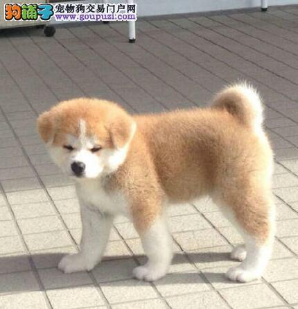 纯种日系秋田犬出售 长相好身体棒 疫苗驱虫已做完