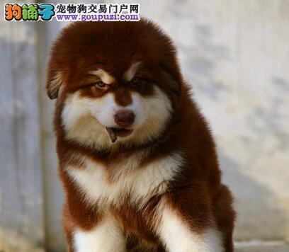 极品双十字郑州阿拉斯加雪橇犬出售 可办理证书