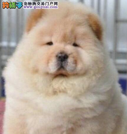 憨厚忠诚的松狮犬火爆热销中 济南的朋友上门选购爱犬
