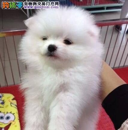 郑州犬舍热销极品哈多利版博美犬 保证健康纯度高