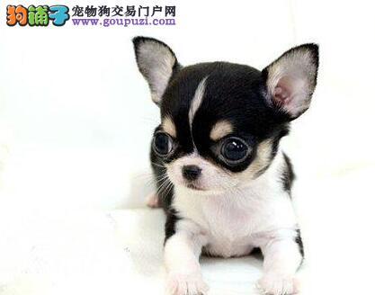 石家庄知名犬业出售超小体的吉娃娃幼犬 终身售后服务