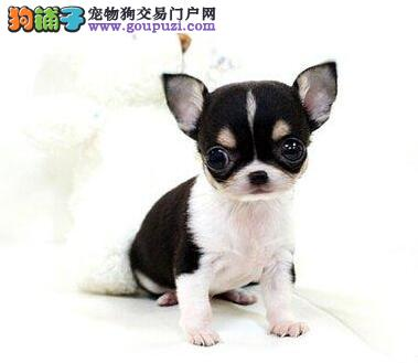 杭州纯种吉娃娃幼犬健康纯种协议质保送货上门