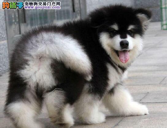 促销价格出售大骨架上海阿拉斯加雪橇犬 欢迎当面看狗