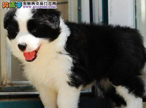 七白三通高智商的边境牧羊犬找新家 广州可免费送货
