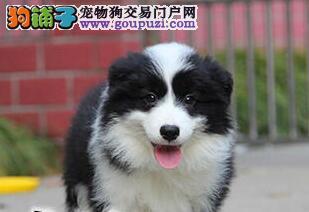 精品七白到位广州边境牧羊犬 可签署活体销售协议