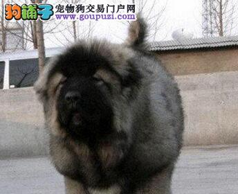 黄浦熊版俄罗斯血系高加索幼犬 质保出售