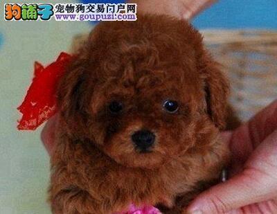 专业犬舍促销正宗韩系广州贵宾犬 价格优惠品质高