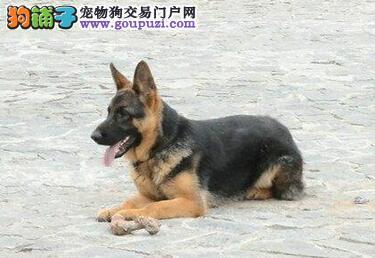 出售大头锤系德国牧羊犬 广州周边地区免费送货